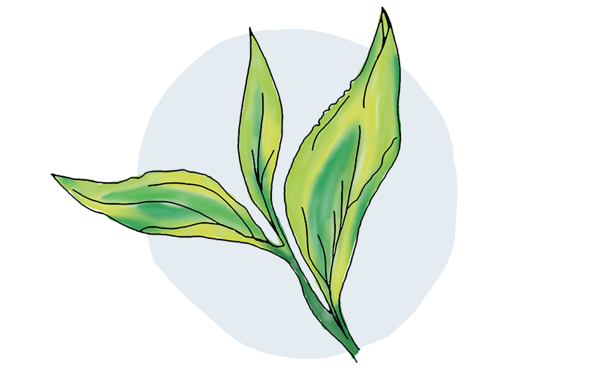 Illustration of fresh, green tea leaves